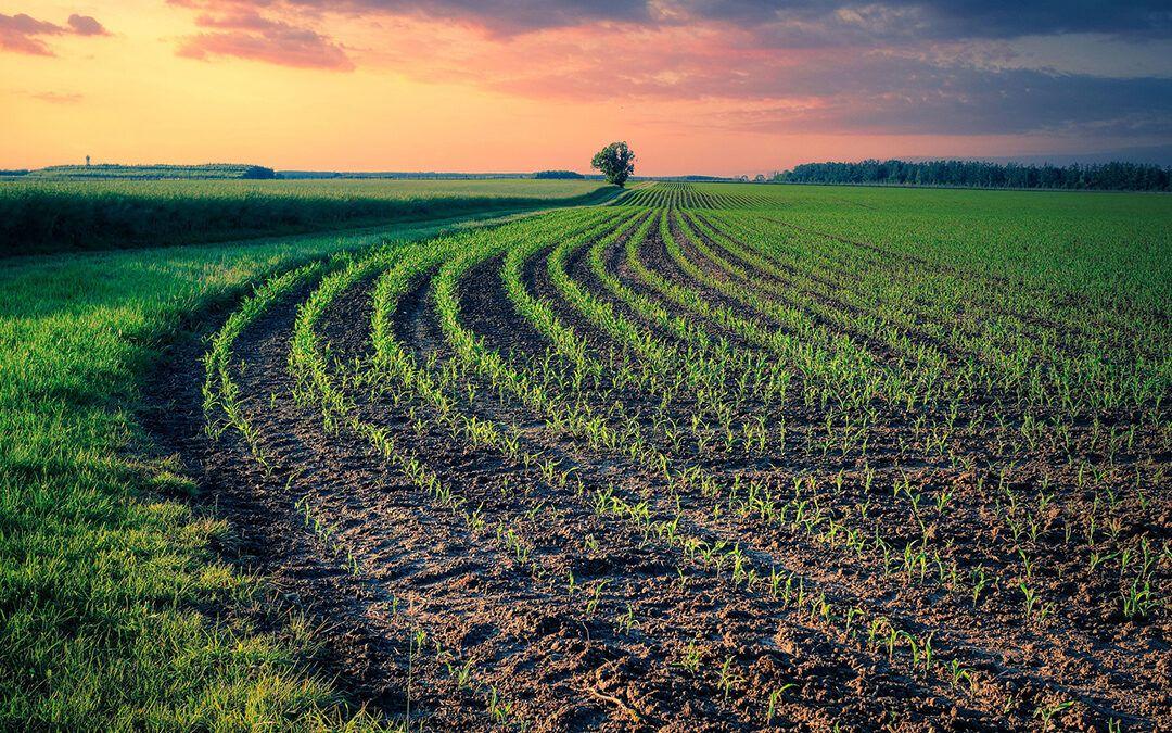 Sjetva ozimne pšenice